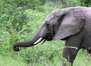 elephant1_1367620i2